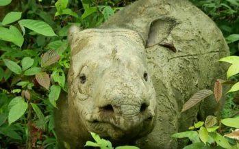 Rinoceronte de Sumatra ahora extinto en Malasia, dicen los zoólogos
