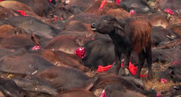 Cómo impedir la matanza de 300.000 animales en Nepal en el mayor sacrificio religioso del mundo