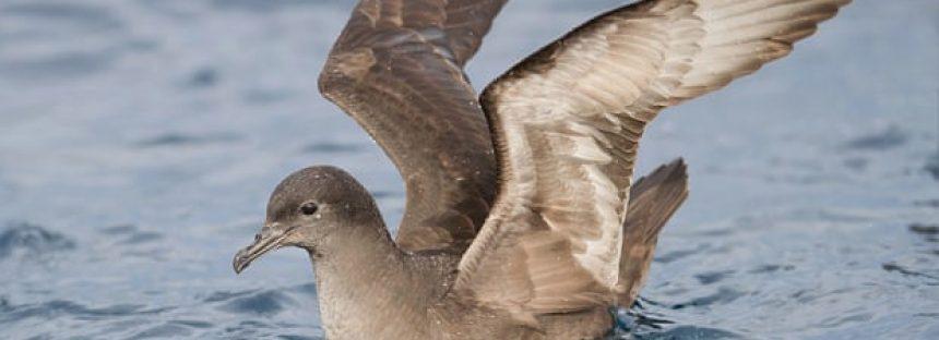 Desde Alaska hasta Australia, observadores temen las muertes masivas de la pardela
