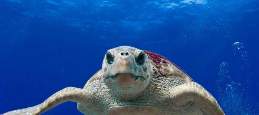 Encuentran tumores en dos tortugas en peligro de extinción