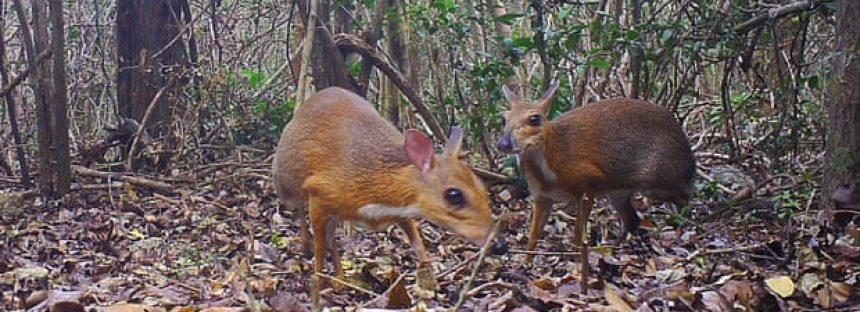 Especies de ciervos de ratón que no se ven desde hace casi 30 años se encuentran vivas en Vietnam