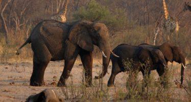 La sequía mata a más de 200 elefantes en Zimbabwe
