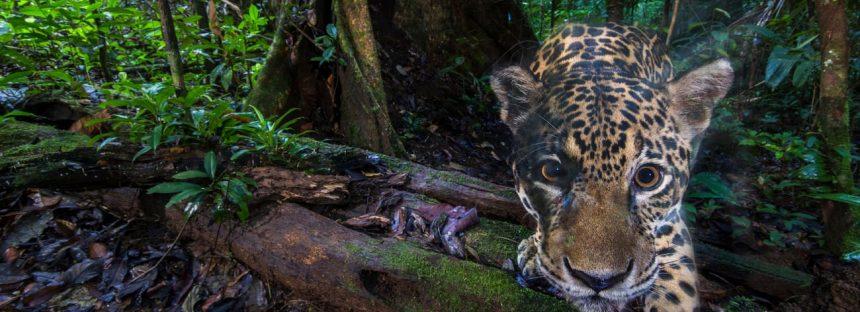 Los jaguares desaparecidos de Ecuador: el gran gato vital para la supervivencia de la selva