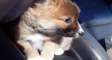 'Wandi', el cachorro que quizás cayó del cielo, es un dingo