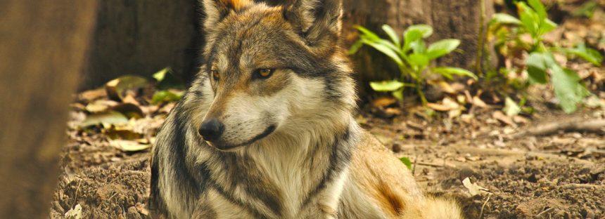 Detectan a cachorros de lobo mexicano en la Biósfera Janos