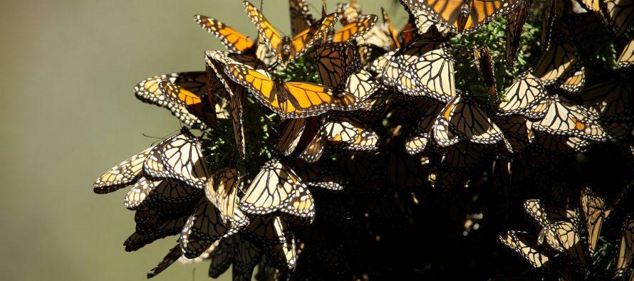 Comienzan a llegar las primeras mariposas monarca a los santuarios del estado de México y Michoacán