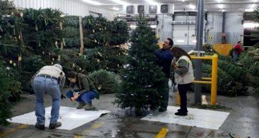 Inspeccionan casi 40 mil árboles de Navidad en las aduanas que registran el mayor ingreso al país