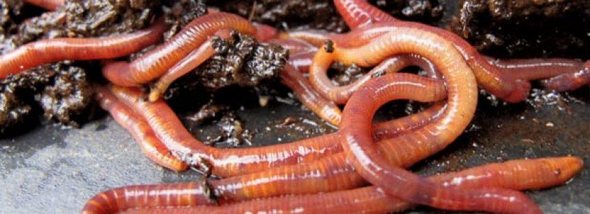 Usos industriales de la lombriz roja californiana
