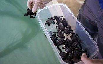 'Baby boom' de tortugas en la costa mediterránea