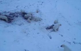 60 osos polares hambrientos, atrapados en un pueblo ruso por falta de hielo marino