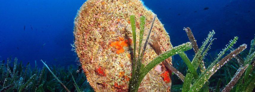 Un molusco gigante del Mediterráneo entra en la lista roja de especies en peligro crítico de extinción