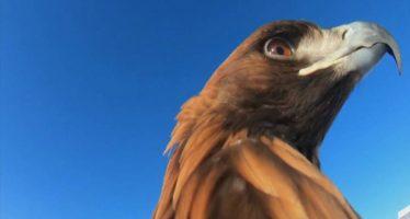 El impresionante vuelo de un águila kazaja