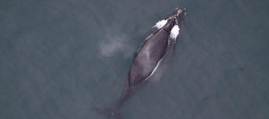 Los fósiles sugieren cómo las ballenas encontraron su estilo de natación