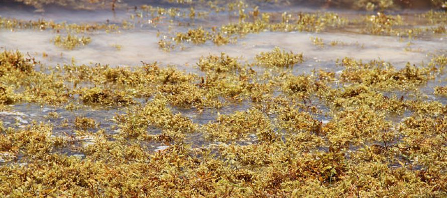 Sargazo. Su paso ahoga hábitat del sistema arrecifal