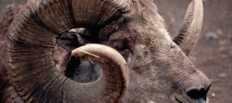 Donald Trump Jr mató ovejas raras en peligro de extinción en Mongolia con un permiso especial