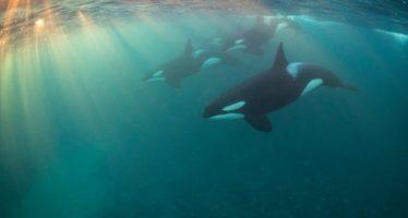 Un estudio halla que las abuelas de las orcas cuidan a las ballenas jóvenes