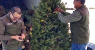 Alrededor de 500 mil árboles de Navidad fueron verificados durante noviembre