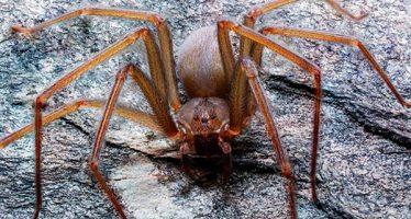 Descubren una nueva especie de araña violinista, la primera originaria en el Valle de México