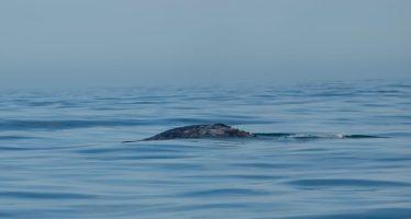 Registran primer arribo de ballena gris en México en la temporada 2019-2020