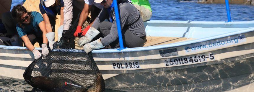 Rescatan a cinco lobos marinos atrapados en red de pesca