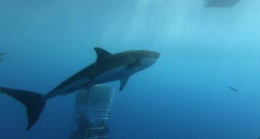 Incidente con un tiburón blanco en la Reserva de la Biósfera Isla Guadalupe, BC, México