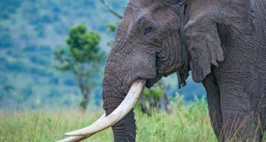 Tigres, elefantes y pangolines sufren a medida que aumenta el tráfico de vida silvestre