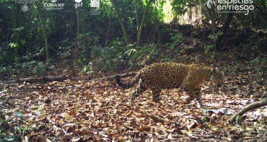 Para monitoreo, colocan collar GPS a jaguar embarazada en Marismas Nacionales Nayarit