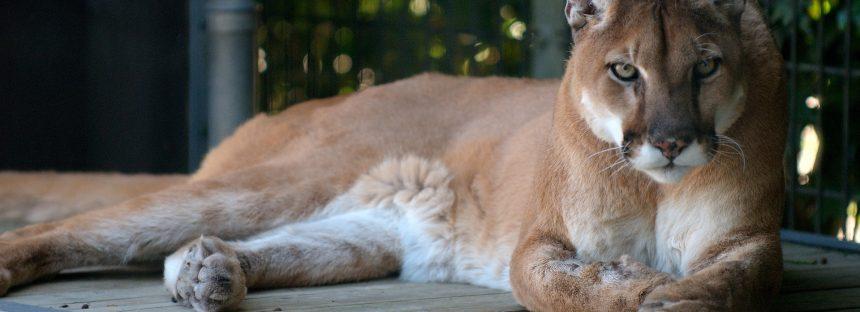 Identificación de grandes carnívoros silvestres en México