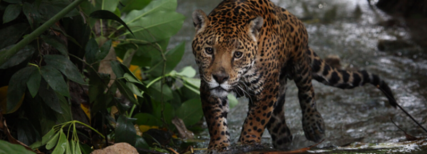 Avances en la conservación del jaguar en México