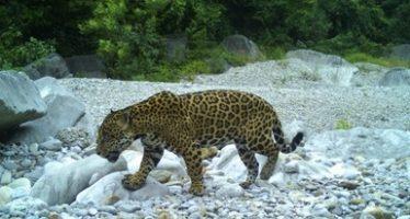 Se registra una cantidad importante de jaguares durante el monitoreo comunitario en la Reserva de la Biósfera Sierra de Tamaulipas