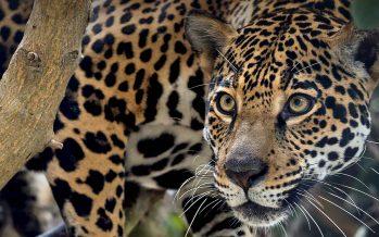 El jaguar se encuentra en riesgo debido al tráfico ilegal
