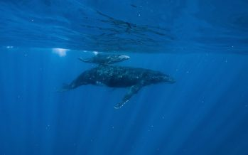 Cámara colocada en una ballena bebé revela secretos sorprendentes