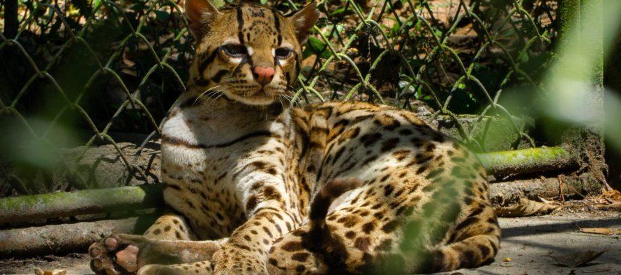La salvación del tigre al que usaron como mascota y luego abandonaron