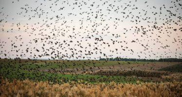 El vuelo de los estorninos tiñe de negro el cielo en el sur de Israel