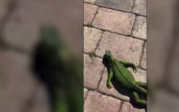 Lluvia de iguanas' en Florida por las bajas temperaturas