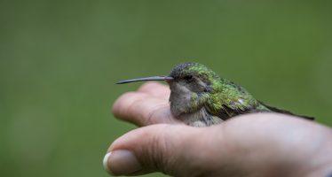 Objetivo, recuperar el colibrí y su polinización