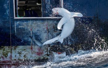 Tememos a los tiburones, pero los humanos son los verdaderos depredadores
