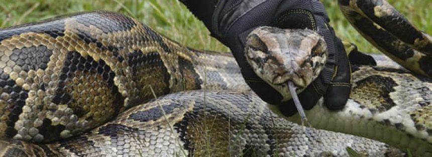 Los cazadores de Florida capturan más de 80 serpientes gigantes en Python Bowl
