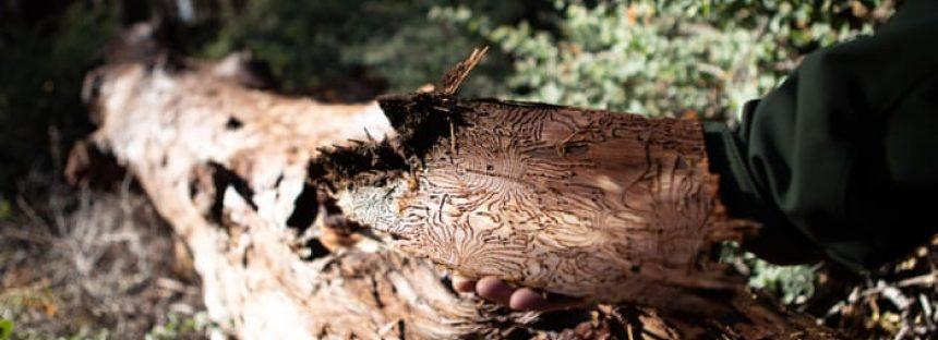 Los escarabajos y el fuego matan a docenas de secuoyas gigantes 'indestructibles'