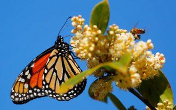 Población de mariposas monarca críticamente baja en la costa de California – nuevamente