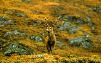 Se necesita un gran aumento en el sacrificio de venados de Escocia para proteger la tierra, según un informe