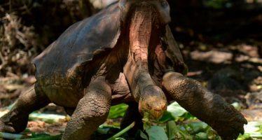 La prolífica tortuga de Galápagos salva a su especie