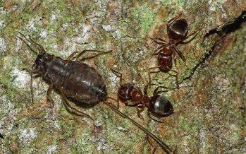 El fotógrafo descubre que las hormigas manejan granjas secretas en los robles ingleses