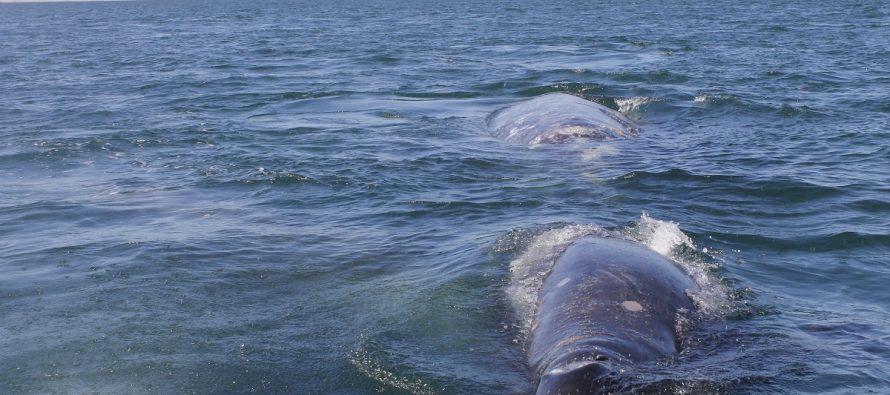 La ballena gris sigue llegando al pacífico mexicano