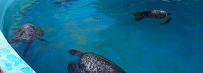 Ejemplares afectados por la marea roja son atendidos en el Centro Mexicano de Tortuga