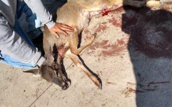 Perros ferales atacan un macho de venado cola blanca en Las Canoas, Zacapu, Michoacán