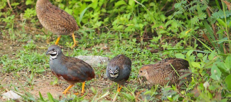 La codorniz común, que ha perdido el 74% de su población en los últimos 20 años, declarada Ave del Año por SEO/BirdLife