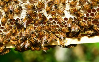 Las abejas meliponas son muy importantes
