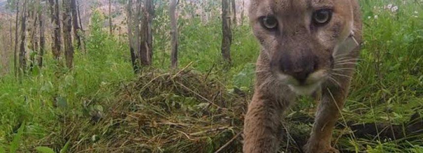 Ingenieros de la naturaleza: pumas diseñan su entorno y proporcionan hábitat a otras especies