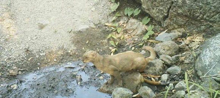 Jaguarundi (Herpailurus yagouaroundi), un felino poco conocido y estudiado en México